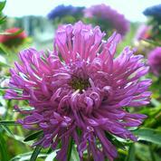 Reine-marguerite, en massif ou en fleurs coupées