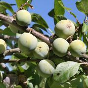 Prunier, l'arbre qui prospère partout en France