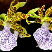Zygopetalum intermedium, une orchidée amazonienne