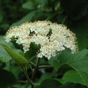 Viorne cotonneuse, belle par ses fleurs et ses fruits
