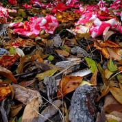 Caméliaen pot: comment éviter la chute des feuilles?