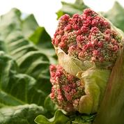Peut-on consommer la rhubarbe même si elle a fleuri ?