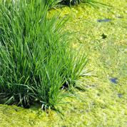 Algues filamenteuses: comment limiter leur prolifération dans une mare ?