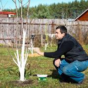 Drosophile asiatique: le chaulage des troncs est-il efficace ?