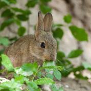 Quelles plantes ne sont pas dévorées par les lapins?