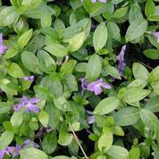 Quelle plante couvre-sol pour remplacer le gazon?