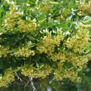 Le pollen du tilleul argenté est-il nocif pour les abeilles ?