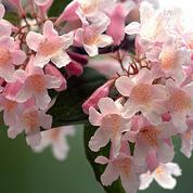 Kolkwitzia, délicates clochettes du printemps