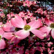 Cornouillers américains, une floraison admirable