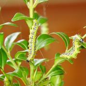 Quel insecticide employer contre la pyrale du buis?