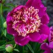 Pivoines herbacées, les couleurs de mai