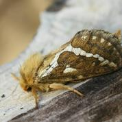 Pivoines: comment se défaire des larves d'hépiale ?
