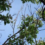 Abricotier: comment remédier au déssèchement des branches ?