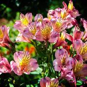 Alstroemères ou «lis des Incas», fleurons des massifs