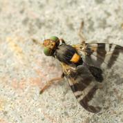 Cerisier: existe-t-il des variétés résistantes à la mouche ?