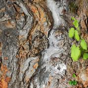 Mûrier platane: comment soigner un tronc fissuré?