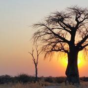 Comment sauver un baobab qui dépérit ?
