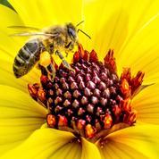 Malgré une forte mortalité, les abeilles produisent un peu plus de miel