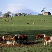Le bœuf irlandais séduit les meilleures tables françaises