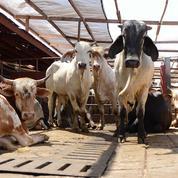 Ce que dit la loi sur l'abattage des animaux