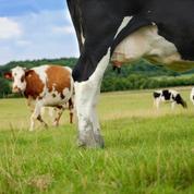 Un an après la fin des quotas laitiers, la filière française dans l'impasse