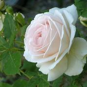 Où trouver des rosiers blancs Pierre de Ronsard?