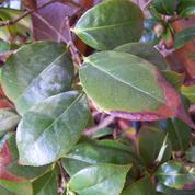 Pourquoi les feuilles de mon camélia brunissent-elles ?