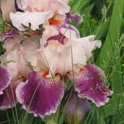 Comment détruire le chiendent dans un massif d'iris ?
