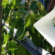 Sexe, pièges et insecticides «bio»