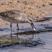 Les oiseaux migrateurs paient le prix du réchauffement climatique
