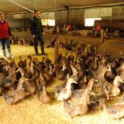 Grippe aviaire : les éleveurs du Sud-Ouest retrouvent leurs canards