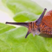 Jardin: les limaces attaquent !