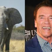 Quand Arnold Schwarzenegger se fait charger par... un éléphant