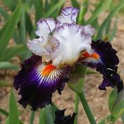 L'éclatante beauté des iris en fleur