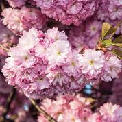 Cerisier du Japon, le culte du printemps