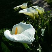 Arum d'Éthiopie, fleur d'églises et de mariées