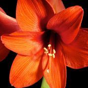 Amaryllis, pour la décoration intérieure uniquement