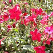 Tabac d'ornement alata, en fleur tout l'été