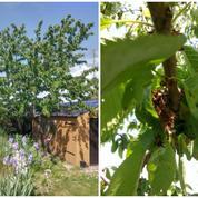 Cerisier: que faire contre la moniliose ?