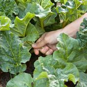 Compost: peut-on utiliser les feuilles de rhubarbe ?