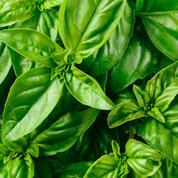 Basilic, cultivez le plein de saveurs