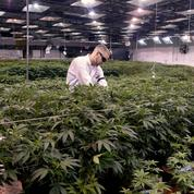 Au Colorado, le cannabis version grand luxe
