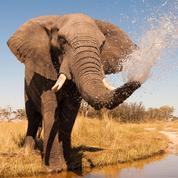 Guillaume Chapron: «Un éléphant braconné toutes les 15minutes»