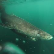Record de longévité pour le requin du Groenland