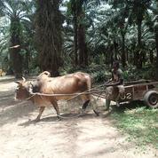 Sifca: l'ex-roi du cacao fait la révolution dans l'huile de palme