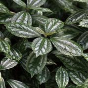 «Plante aluminium», élégante cousine de l'ortie