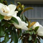 Mon magnolia menace ma maison, que faire ?