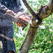 Cerisier: peut-on couper ses branches mortes sans le tuer ?