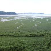Les algues vertes sont-elles responsables de la mort d'un homme en Bretagne ?