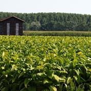 Les derniers planteurs de tabac français s'inquiètent de la politique du gouvernement